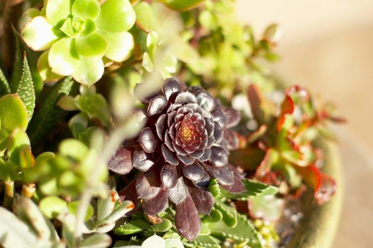 Los jardines de suculentas son fáciles de cultivar tanto en interiores como exteriores.