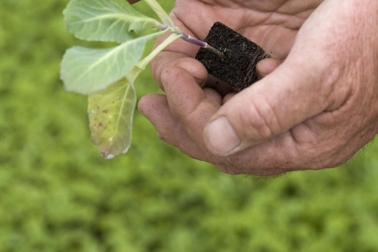 Separa los repollos al menos de 12 a 24 pulgadas de distancia en el jardín.