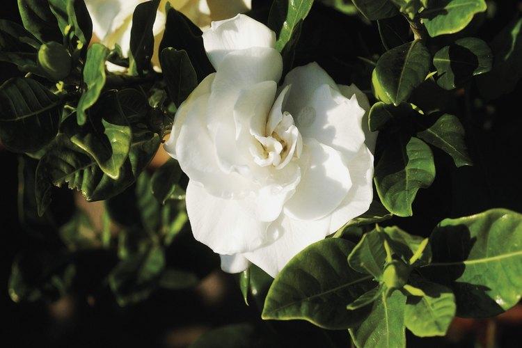 Varios factores pueden hacer que tus hojas de gardenia se pongan marrones.