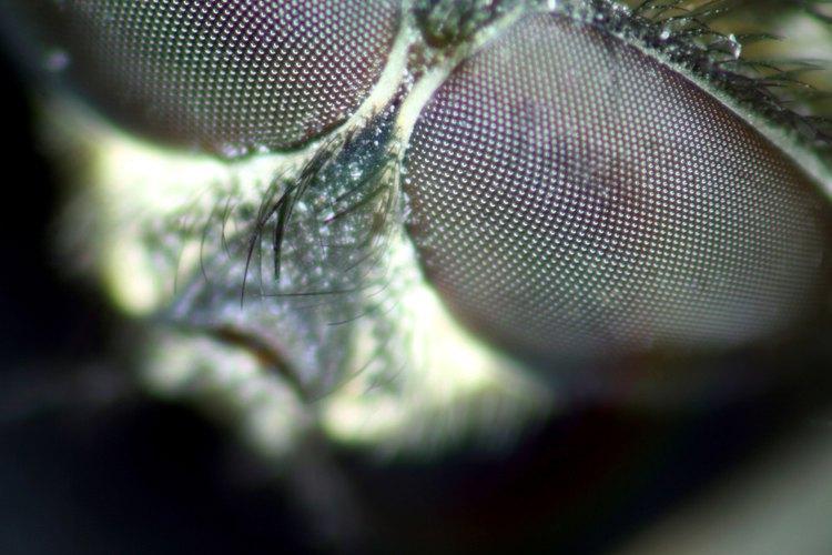 Las moscas pueden llevar enfermedades transmisibles a humanos.