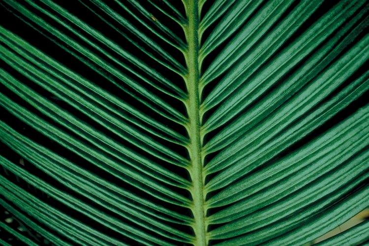 Los folíolos verde oscuro, limpios y satinados en una fronda de hoja de palmera sagú.