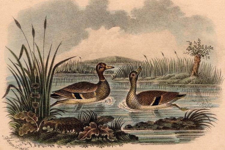 Los patos silvestres comienzan el cortejo en el otoño.