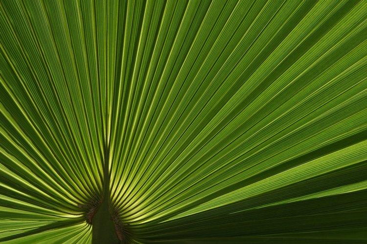 Un nativo del sudeste de Estados Unidos, el palmito enano te dará un árbol tropical compacto.