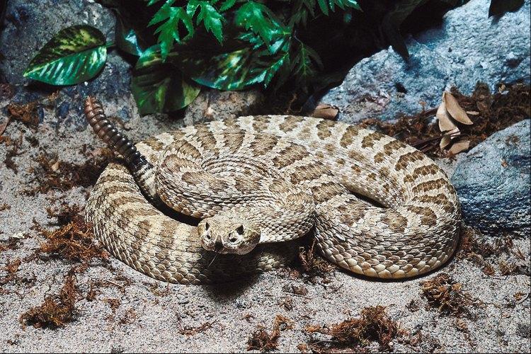 Ten cuidado de no pisar serpientes de cascabel.