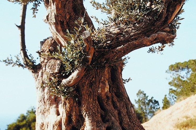 Los olivos han sido cultivados durante aproximadamente 7.000 años.