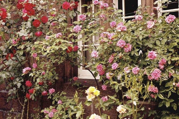 Puedes combinar dos diferentes colores de rosas en un arbusto por medio de un injerto.