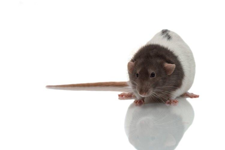 Cuando una rata contrae un resfriado, puede desarrollar una infección respiratoria seria si no se trata como corresponde.