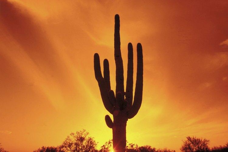 Cactus en el desierto.