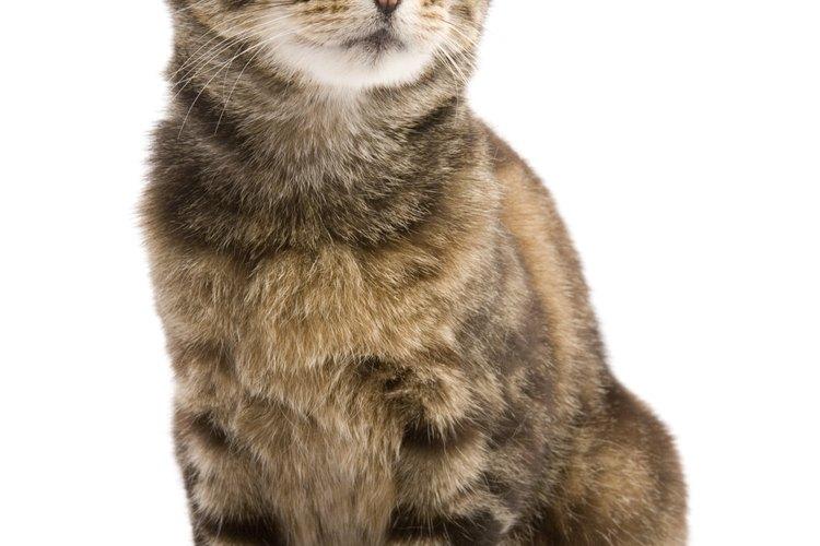 Los gatos con hipotiroidismo son más propensos a tener vómitos y constipación.