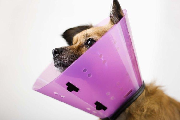 El collar isabelino sirve para evitar que los perros laman sus heridas.