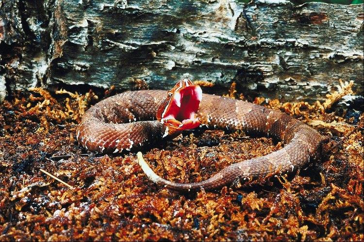 El veneno de la serpiente cantil es muy tóxico.
