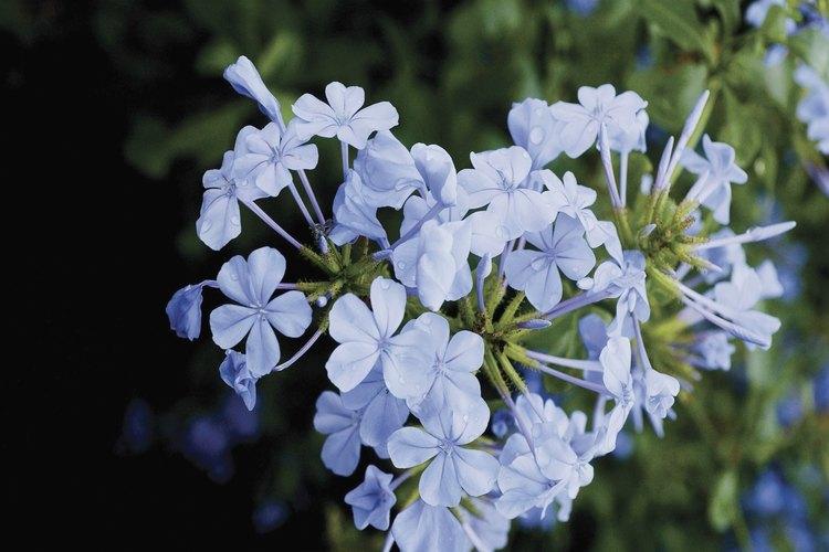 El plumbago permanece cubierto de flores azules la mayor parte del año en las zonas cálidas de EE.UU.