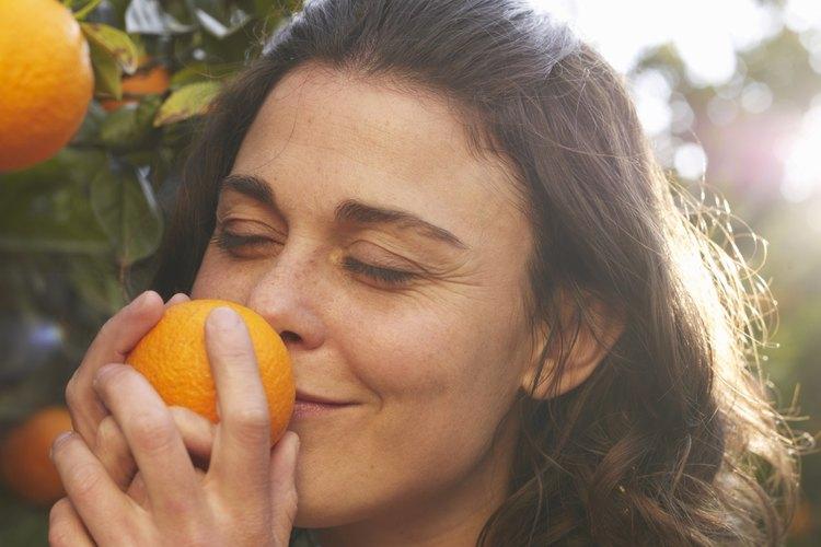 Varios pequeños brotes comienzan a crecer en los árboles de naranja durante el final del invierno.