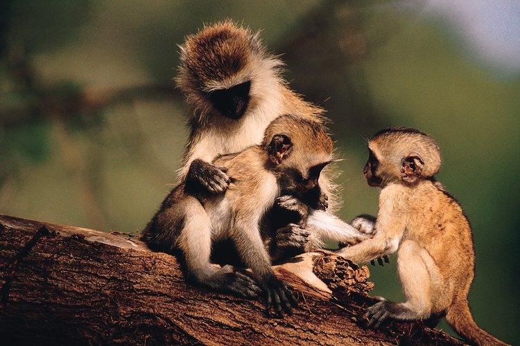 Algunas especies de monos del Nuevo Mundo tienen una uña en el dedo gordo del pie.