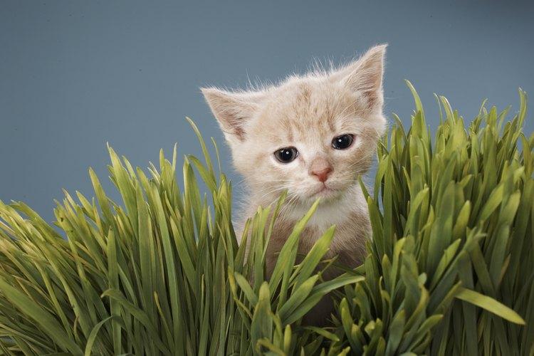 Ofrece a tu gato una hierba no tóxica.