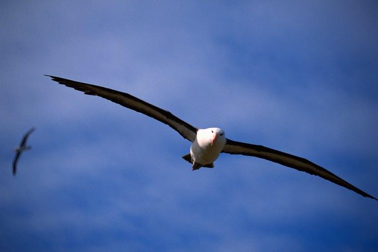 Un albatros de 50 años de edad ha volado por lo menos 3,7 millones de millas (6 millones de kilómetros).