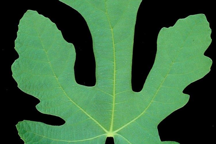 Las hojas de higo tienen nervadura palmada.