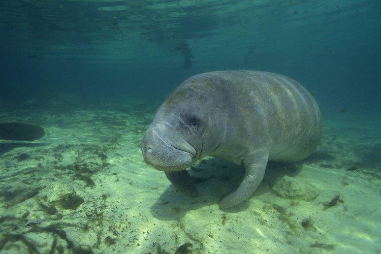 Los manatíes son comunes de ver cuando haces snorkel en Clearwater, Florida.