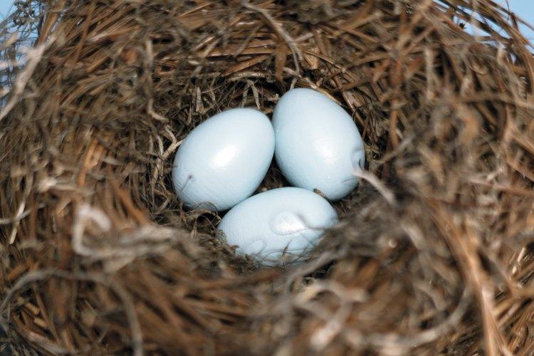 Los agapornis incuban juntos sus huevos.