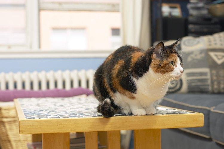 Gato sobre la mesa.