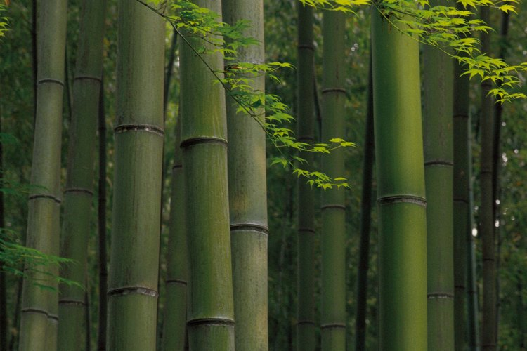 Las plantas de bambú proporcionan una cubierta gruesa perenne.