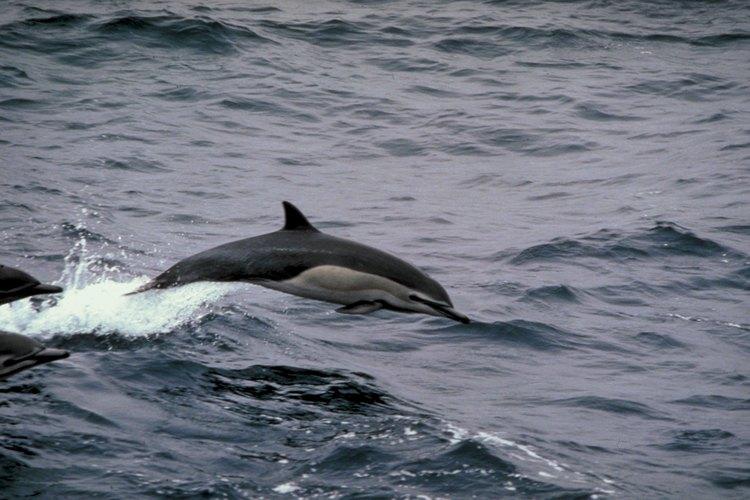 Los delfines son amistosos representantes del agua.