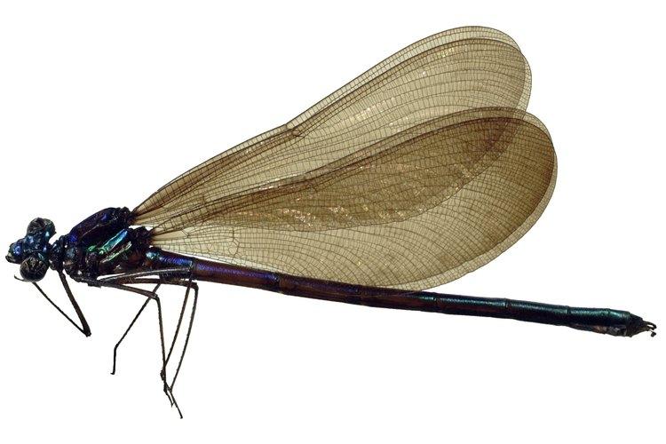 Una vez que el clima y la temperatura son adecuadas, la larva de libélula comienza a crecer dentro del huevo.