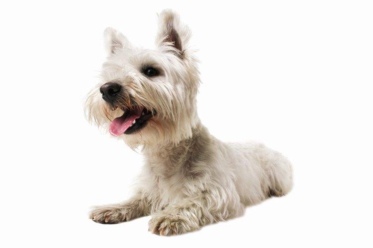 Terrier con orejas paradas