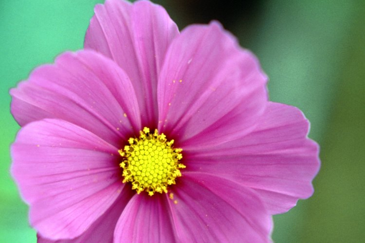 La cosmos es una anual fácil de cultivar anual que rápidamente se dispara y se extiende.