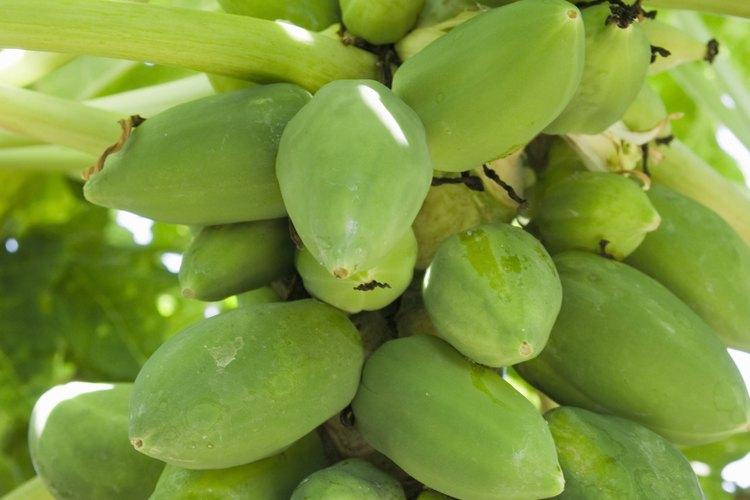 Una planta de papaya por lo general comienza a producir frutos en un año.