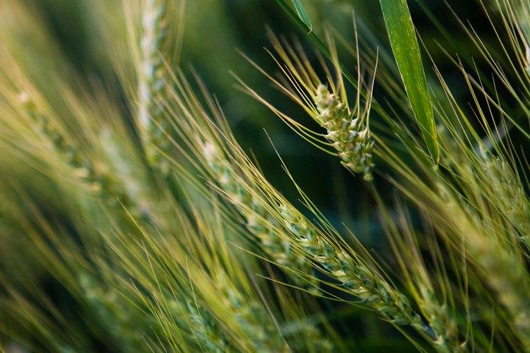 La cebada te da una alternativa al trigo y la avena del desayuno.