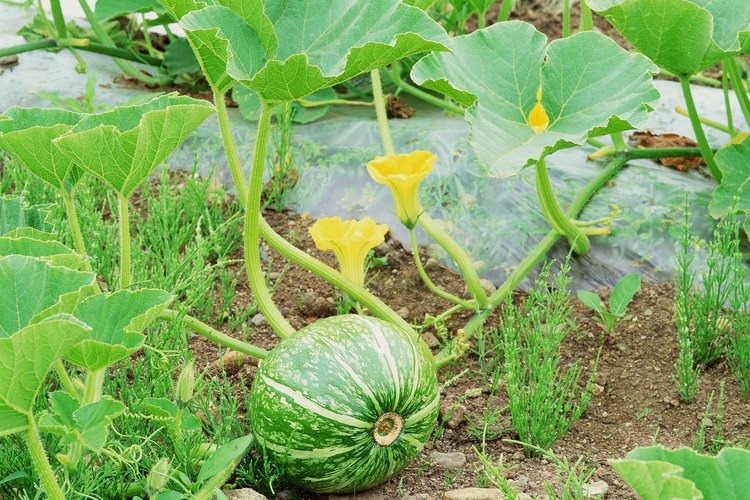 Las plantas de sandía producen flores masculinas y separan las femeninas.