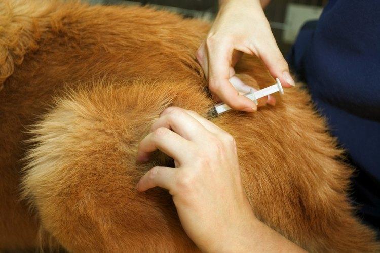 Si no funciona la terapia oral de hierro, deberá inyectársele hierro a tu mascota.