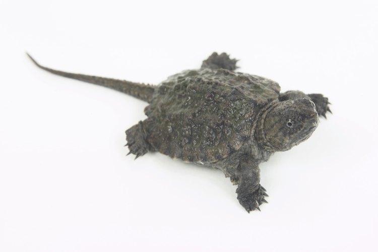 Algunas especies de tortugas muerden.