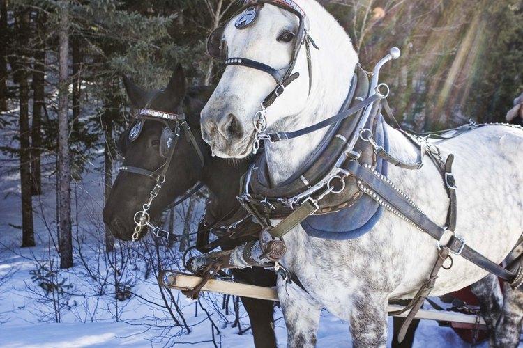 Las manchas de estiércol son más evidentes en los caballos blancos o de color claro.