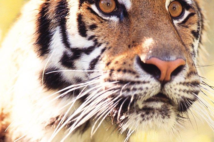 Los tigres están en la lista de especies en peligro de extinción.