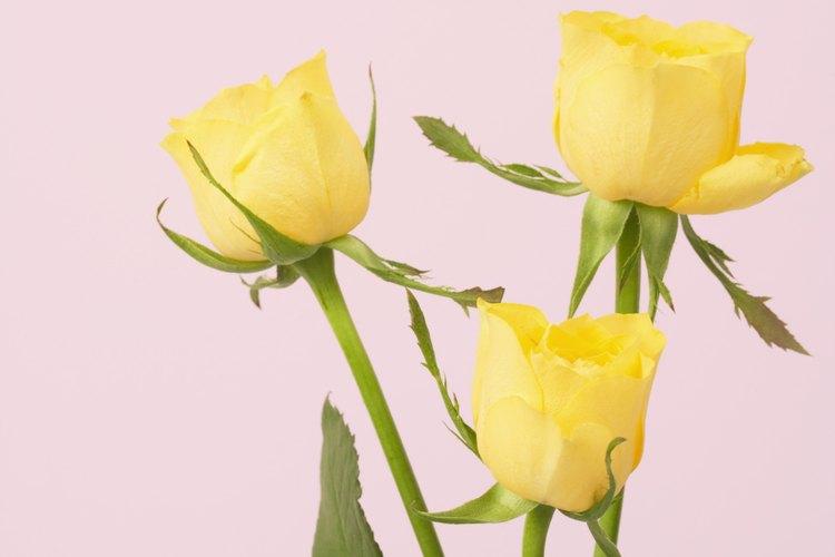 Mantén las rosas viviendo más tiempo con el cuidado adecuado.
