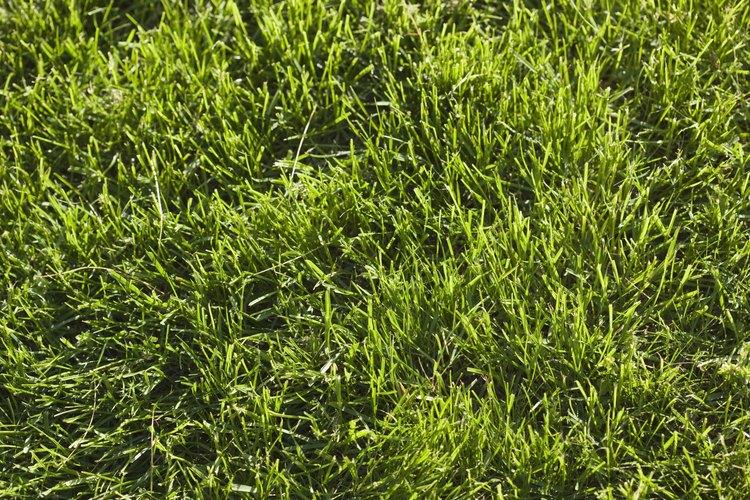 Cada rizoma, que crece lateralmente de la planta madre, desarrolla su propio sistema de crecimiento por encima y debajo de la tierra.