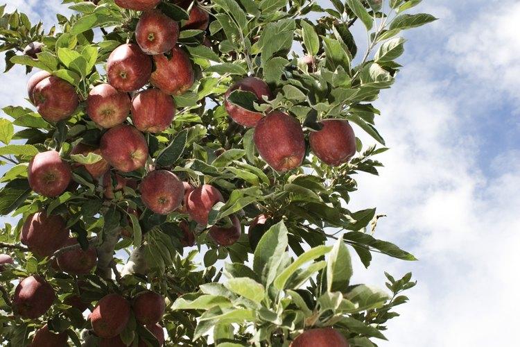 El árbol de manzana y la manzana silvestre están estrechamente relacionados ya que ambos son miembros del género de la manzana o malus.