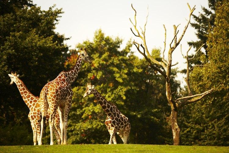 Las jirafas son animales sociales que viajan juntos.
