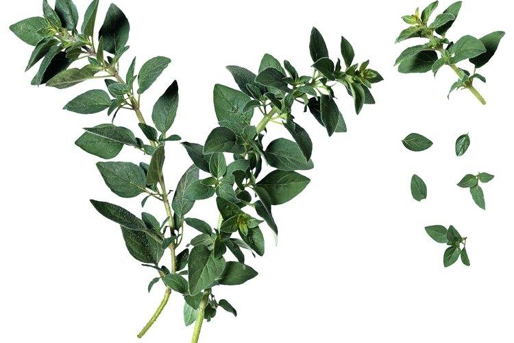 El orégano se utiliza comúnmente en la cocina italiana, así que debes mantenerlo fresco para pastas de invierno copioso.
