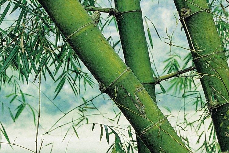 Las varas de bambú pueden convertirse en hermosas y económicas varillas para cortinas.
