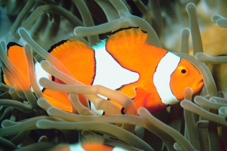Debido a su pequeño tamaño, los peces payaso son presa de los animales más grandes bajo el agua.