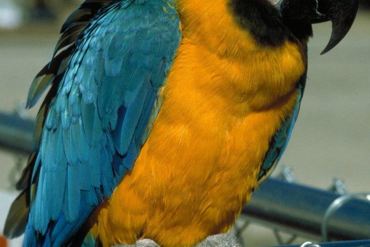 Los guacamayos azul y amarillo son aves extremadamente inteligentes. Pueden aprender trucos y adquirir un amplio vocabulario.