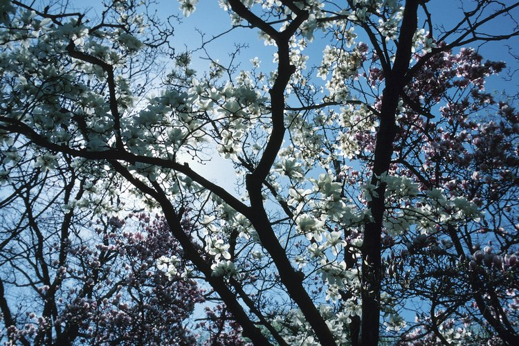 Gran árbol de magnolia cubierto de flores blancas.