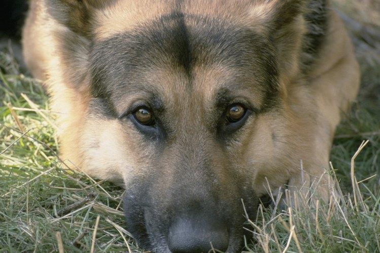 El conductista Pavlov utilizó demostraciones con perros para probar sus teorías.