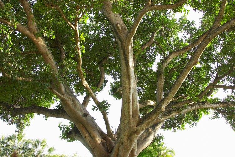 Las ramas de una higuera crean sombra total debajo del árbol.