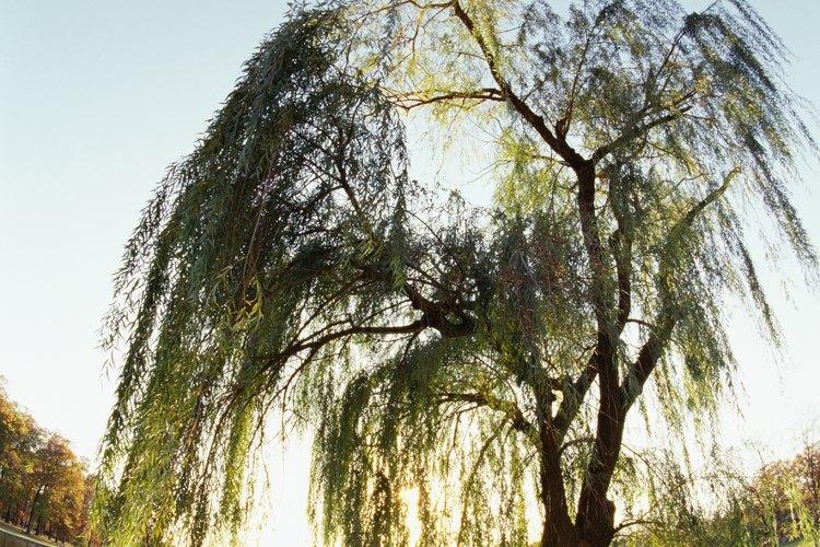 Las raíces del majestuoso sauce llorón pueden ayudar a absorber la humedad de los lugares húmedos.