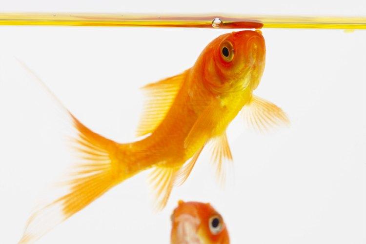Los primeros peces dorados criados en cautiverio vivieron durante los años 618 - 907 d.C. en monasterios budistas.