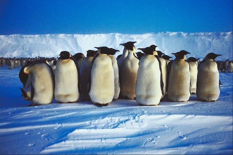 Hay diversas maneras de enseñar a los preescolares acerca de los pingüinos.